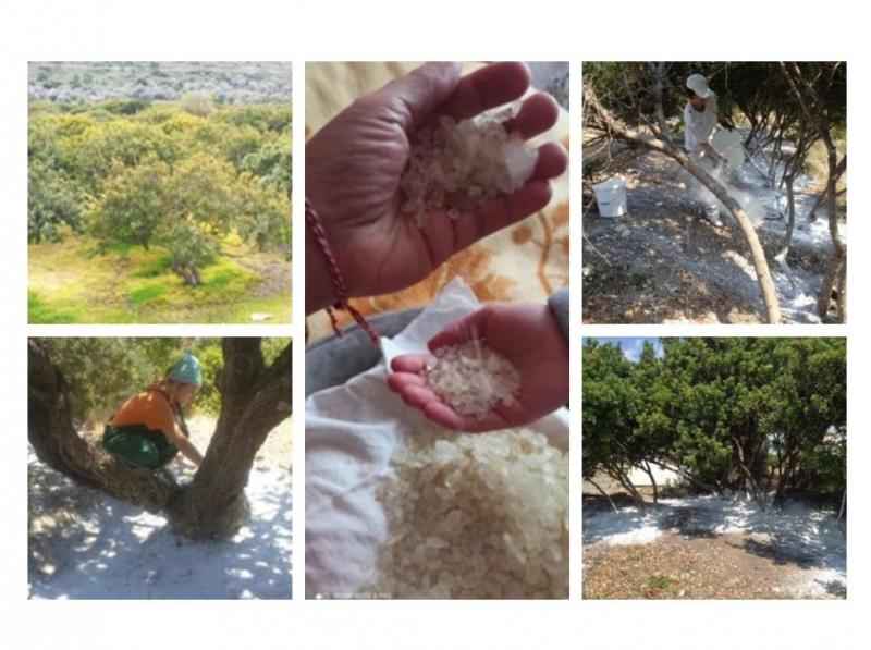 Mastic tree  cultivation